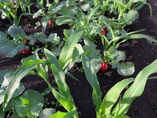 6 июня, на грядке редиски  кукуруза