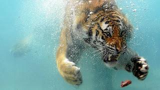 Tiger Diving Wallpaper