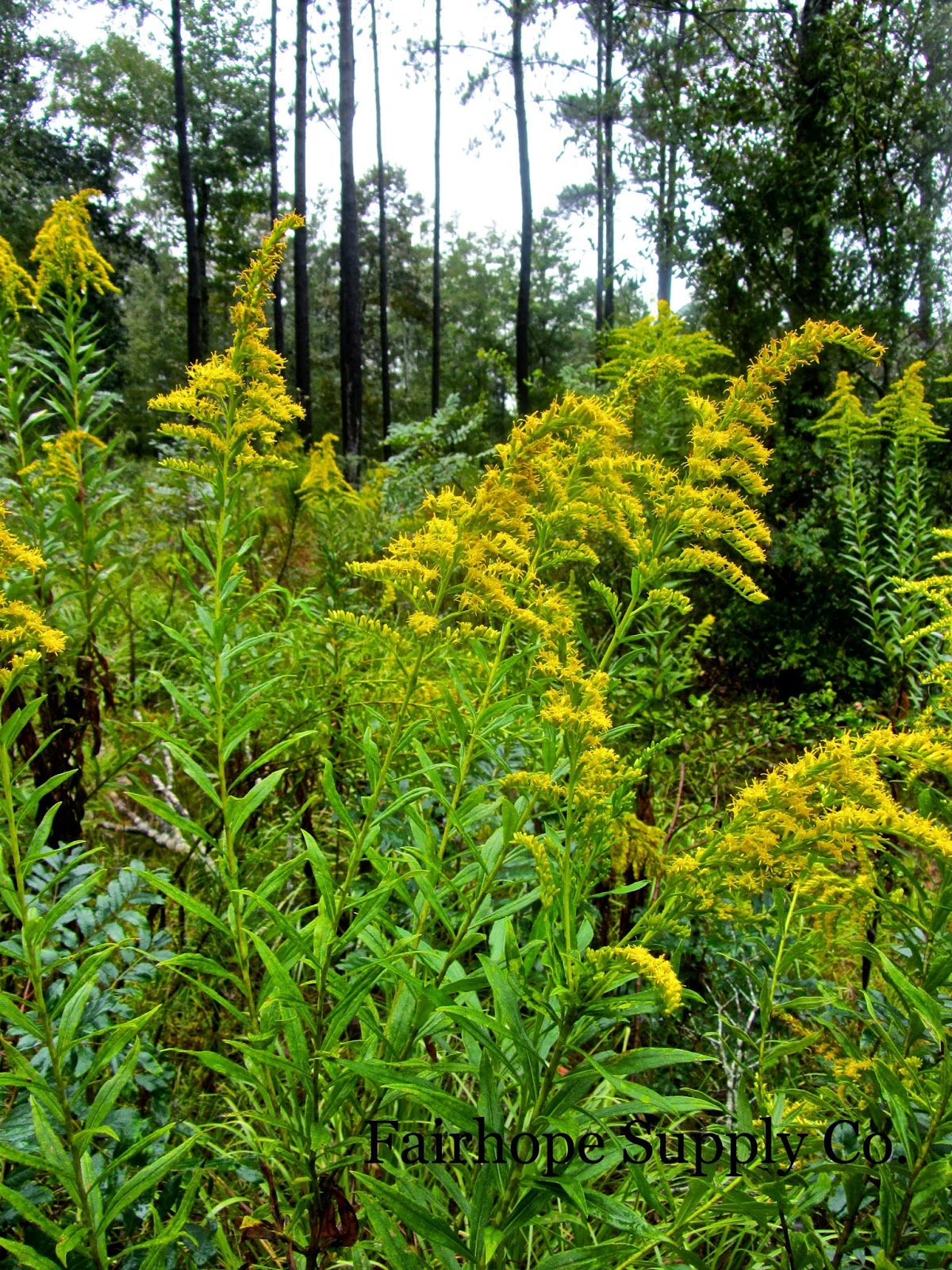 Is Goldenrod an Herb Leslie Anne Tarabella