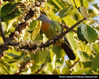gambar burung punai gading ditaman nasional Baluran