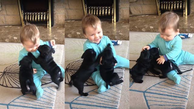 Un bébé hilare face aux bisous et câlins de deux chiots