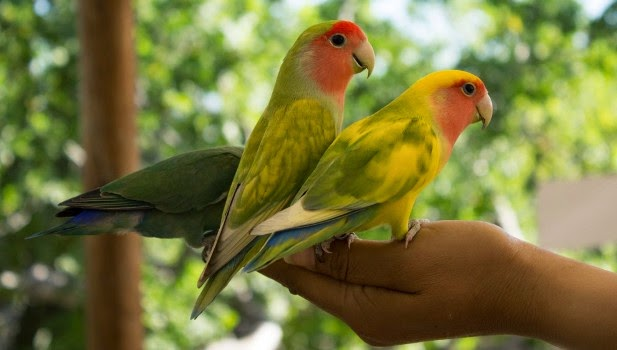 melatih-lovebird-500231