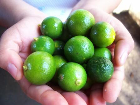 benefits of calamansi on clothes Health benefits of calamansi take away stains on clothes- rub the pulp of calamansi into the stained clothes until the stains remove.
