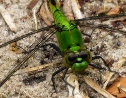 dragonfly - great pondhawk