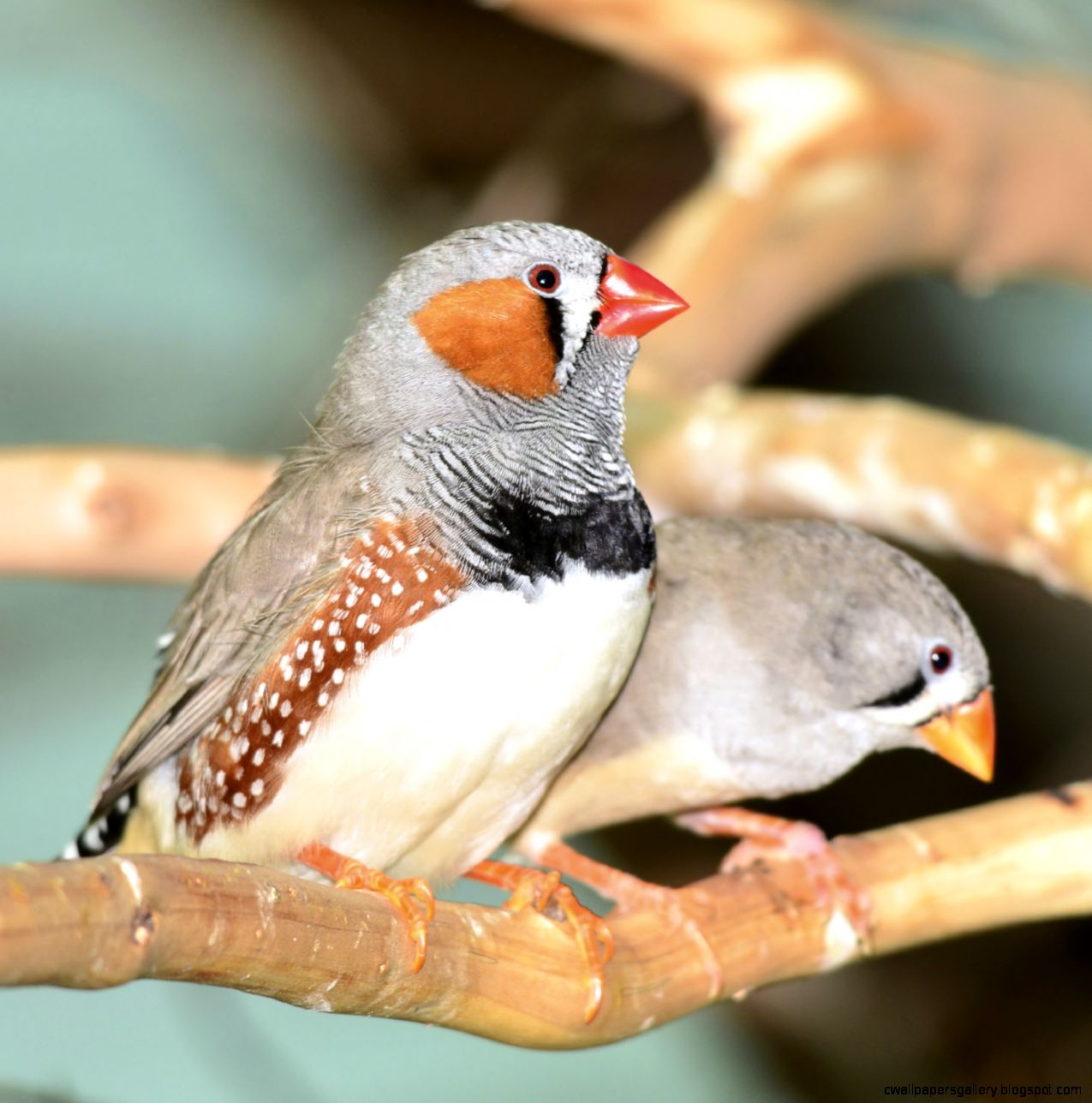 Zebra Finches  The Pet Barn