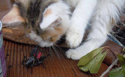 kitten with grasshopper