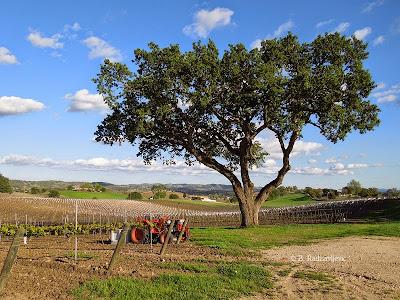 Oak Tree Near Doce Robles Tasting Room, Paso Robles, © B. Radisavljevic