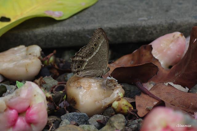 雞南山散步,褐翅蔭眼蝶