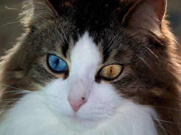 odd-eyed cats, cat with different colored eyes