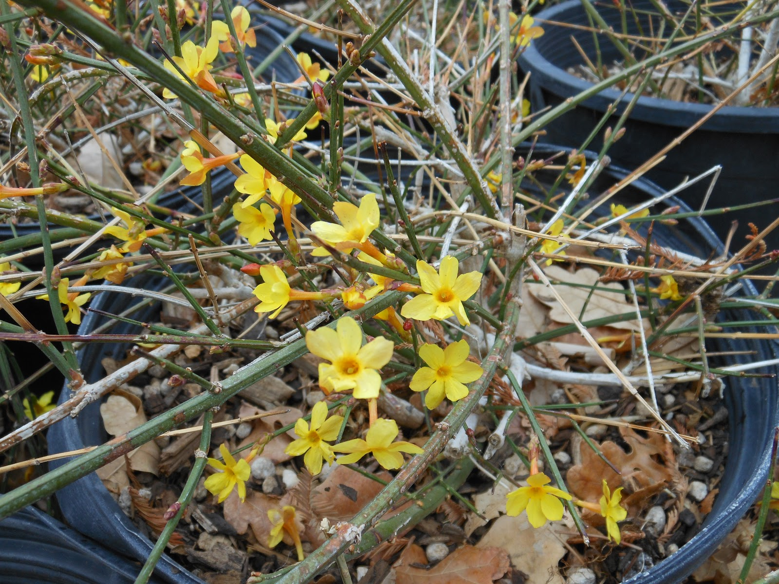 Trees that please nursery winter jasmine winter jasmine jasminium nudiflorum grows as a thin stemmed deciduous shrub that is native to china it can grow 8 10 tall and wider but is more izmirmasajfo Choice Image