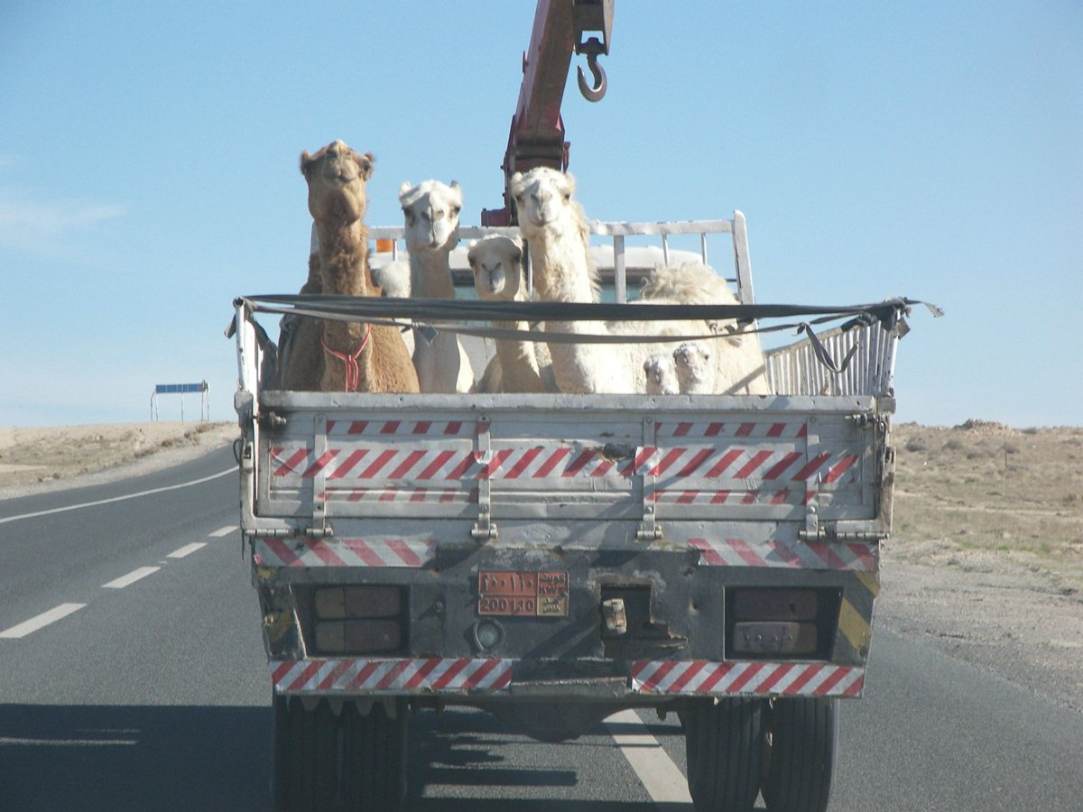 funny animals, animal pictures, llamas on truck
