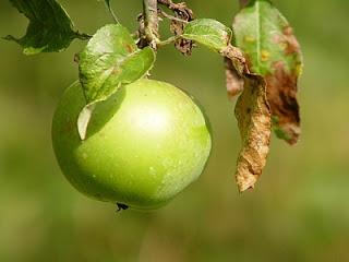 alma csüng a faágon
