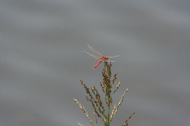 Feuerlibelle am Lichtenberger Teich (Svetlik) in Nordböhmen