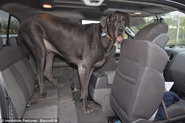 george the great dane is 7ft
