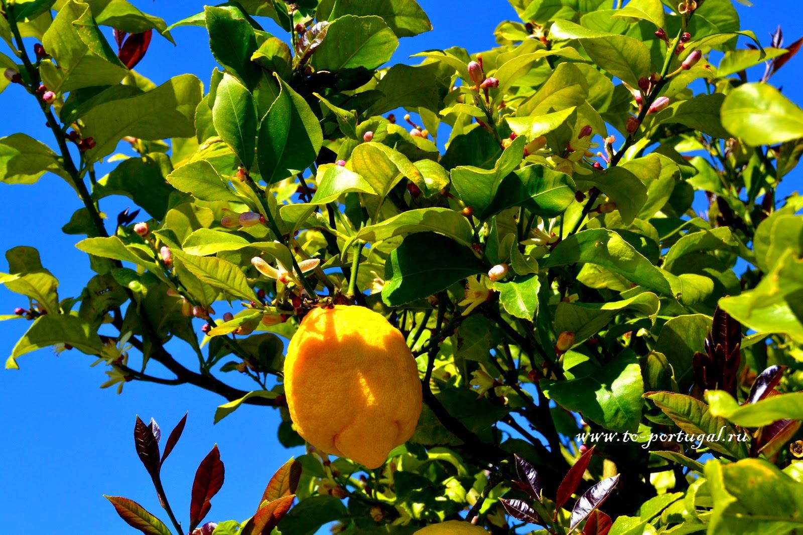 португальские лимоны