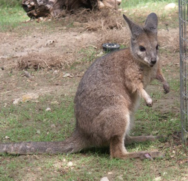 wallaby animal wildlife
