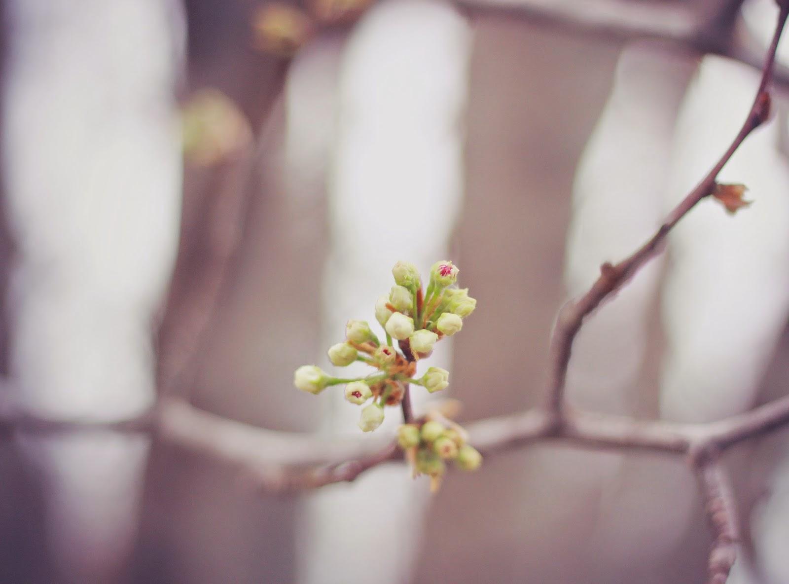 spring_flower_bud_Brandford_Pear_blossom