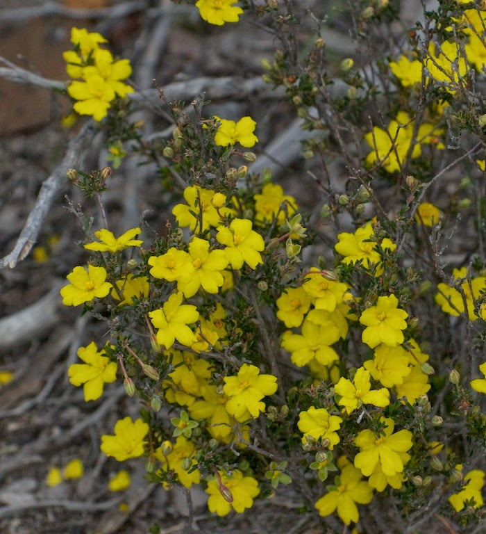 Hibbertia sp
