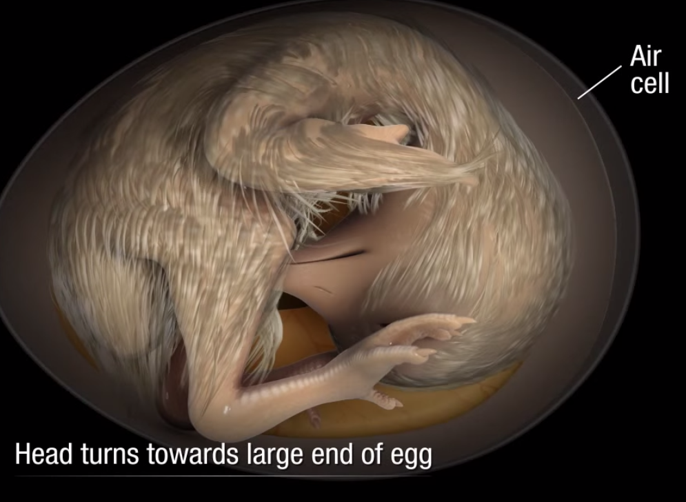 chimpanzee embryo vs human embryo