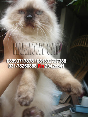 Sold Out Kucing Jantan Flatnose Mata Biru Bulu Super