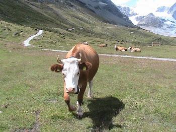 la famosa mucca svizzera