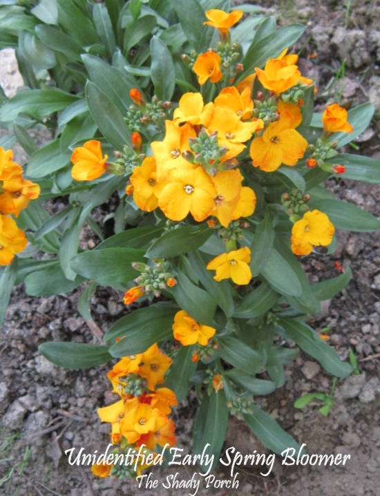Unidentified Early Spring Orangish-Yellow Blooms at The Shady Porch