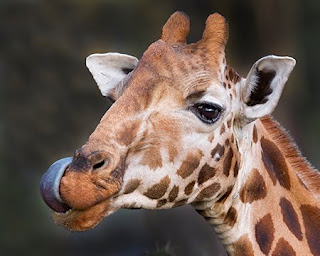 Giraffe+tongue+blue