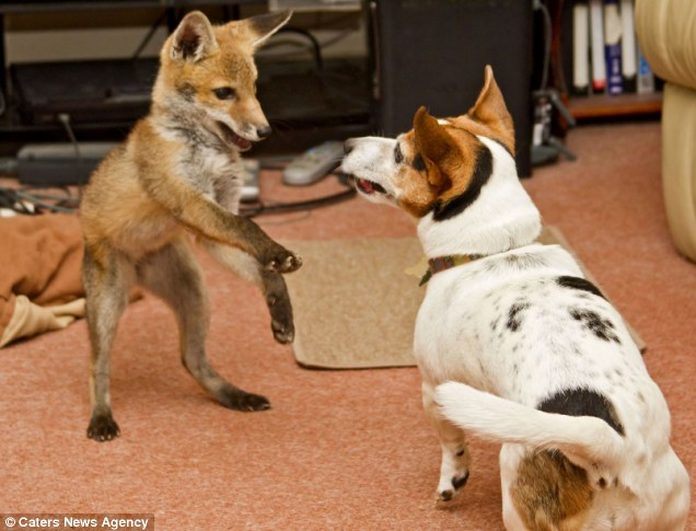 real life the fox and the hound, dog and fox are friends, interspecies friendship, friendship between dog and fox