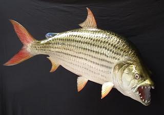 tiger fish carnivora piranha