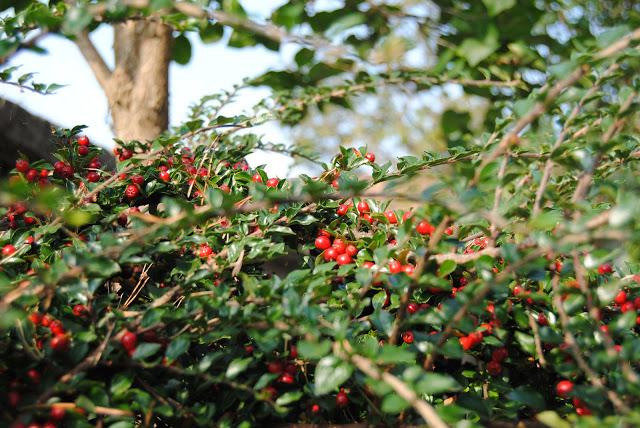 buske med röda bär på hösten