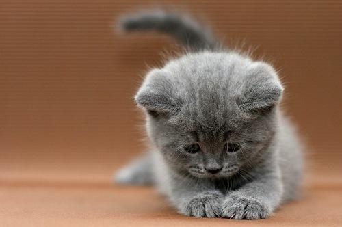 Scottish Fold Cats Florida For Sale