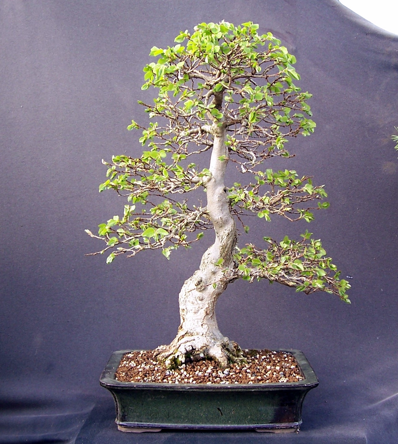 MiKo Bonsai Korean Hornbeam Just Coming Into Leaf