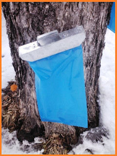 A modern metal tap that connects to a thick blue plastic bag is connected to a maple trunk.