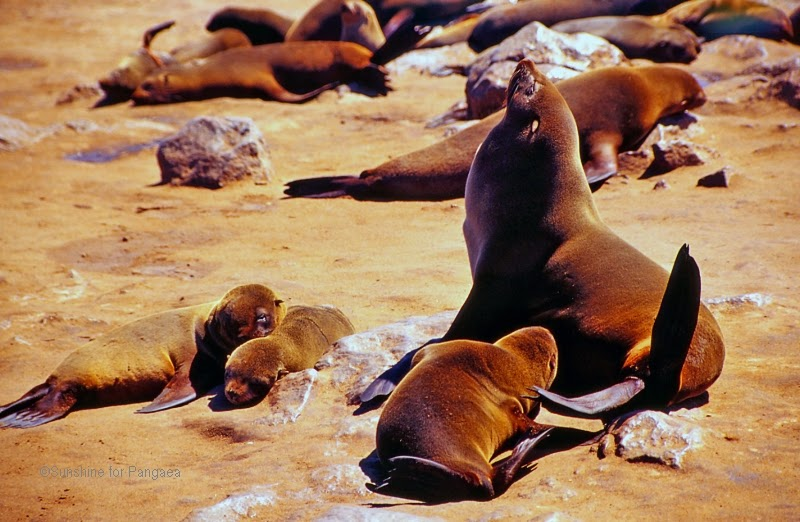 South african fur seals in Namibia