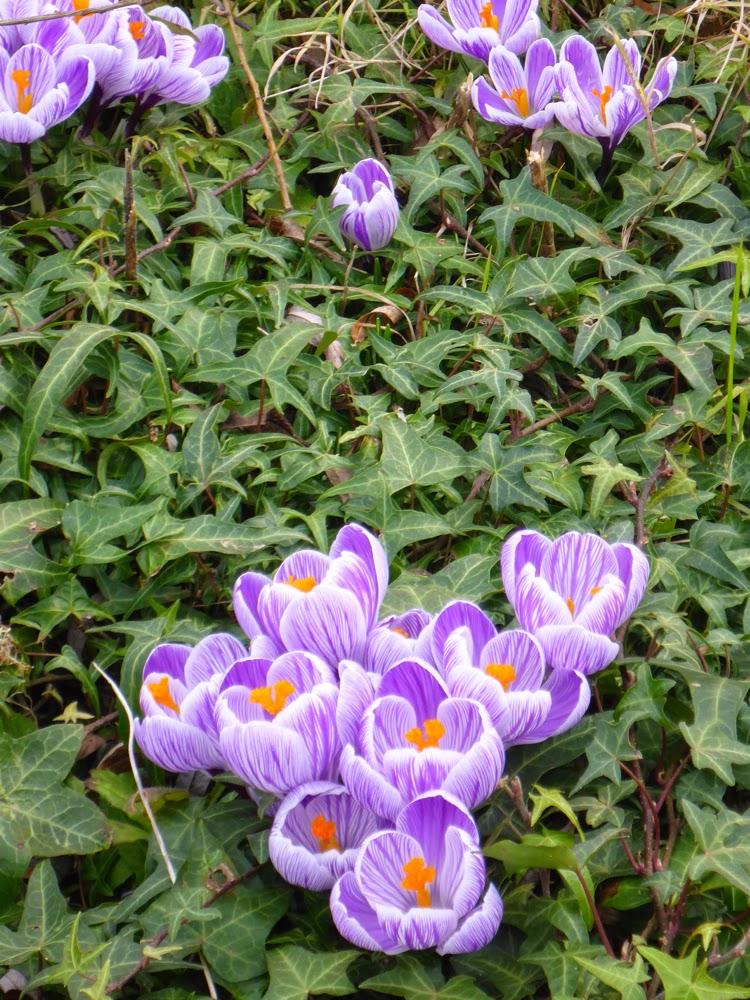Violete Krokusse