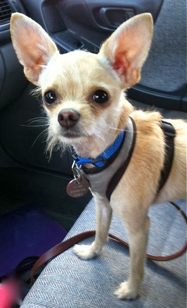 Follow the Piper: EXCITING HAPPENINGS! by Dorrie the Chihuahua