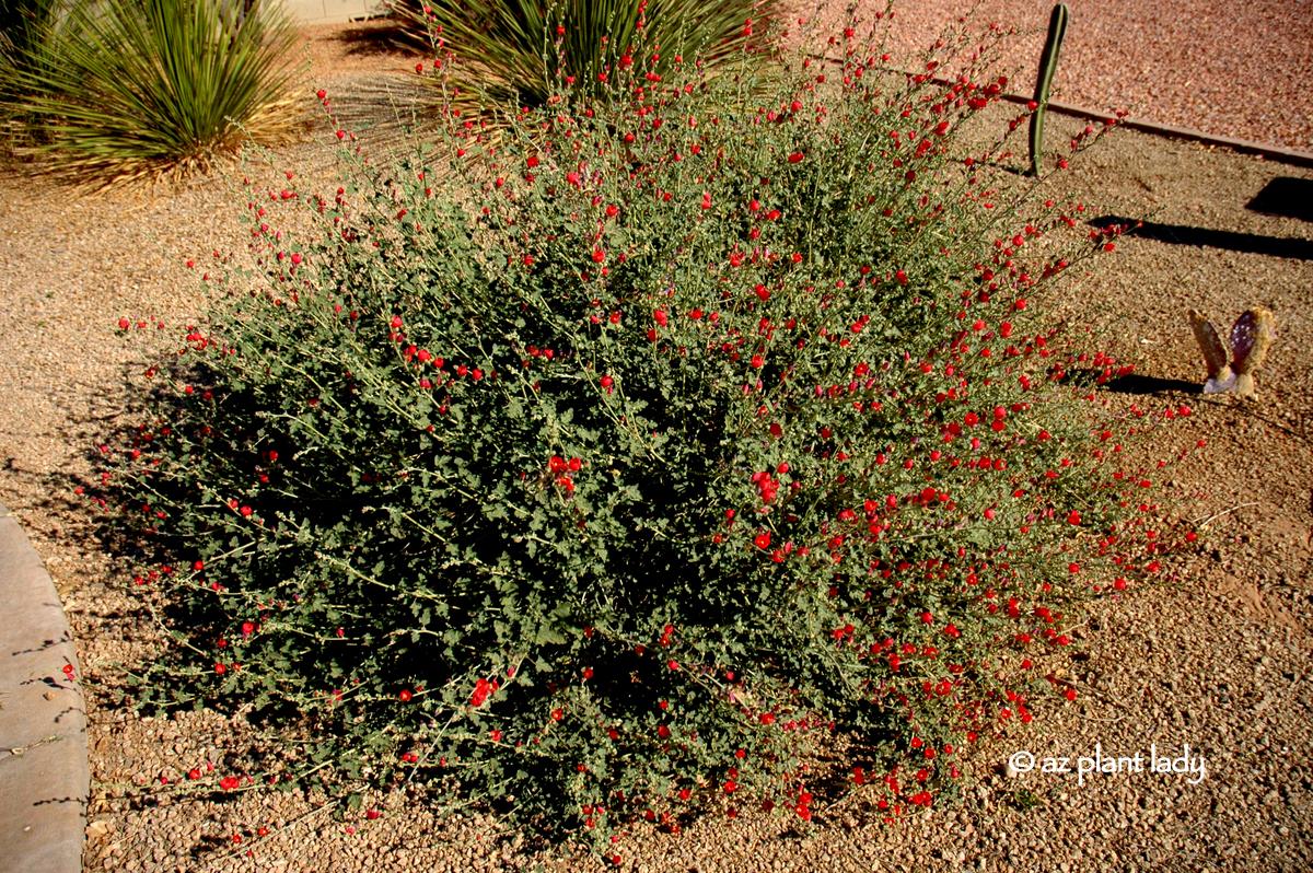 Sidalcea Malviflora Oberon Garden Border Perennial Biennial Plant Mallow Lavertera Family