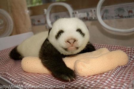 panda bears pictures 18