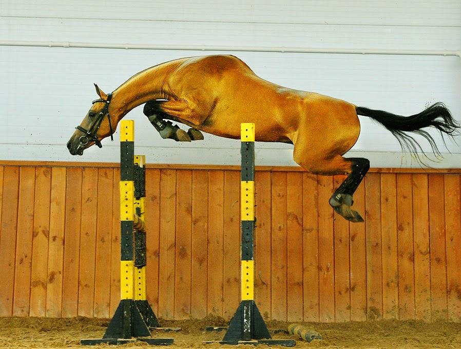 Follow The Piper Akhal Teke Horses