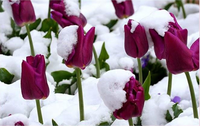 hình hoa tulip tím