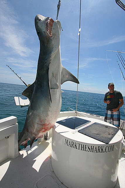 Big fishes of the world shark tiger galeocerdo cuvier for Florida shark fishing charters