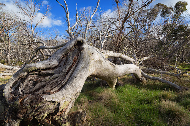 fallen snow gum tree