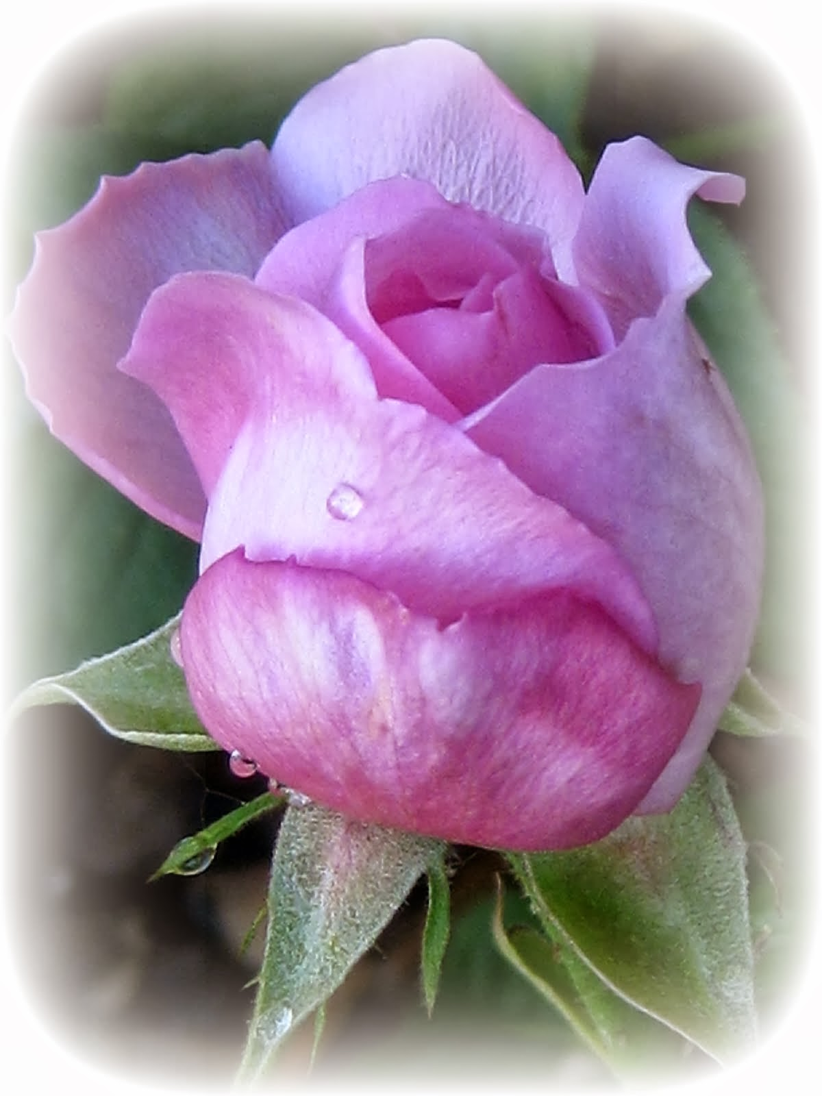 Dreaming of Spring...  and sunshine... and warmth... and pink roses named Gertrude...