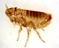 Turn on the central heating and out come the fleas