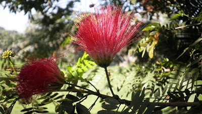 red rain tree flowers of my campus