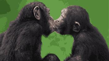 Ciuman simpanse