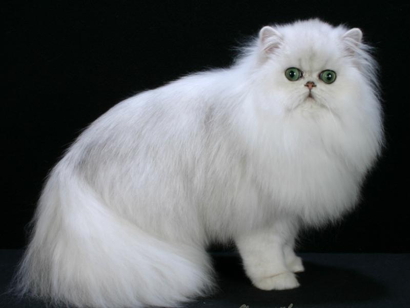 Cara merawat kucing persia kesayangan anda
