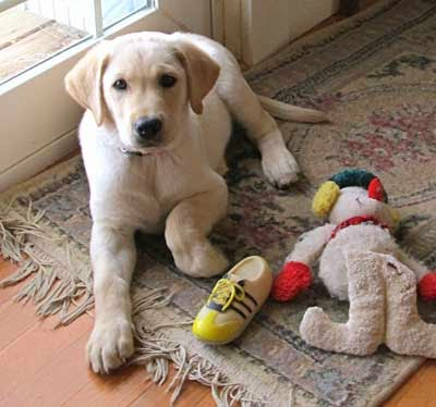 why are guide dogs yellow labs