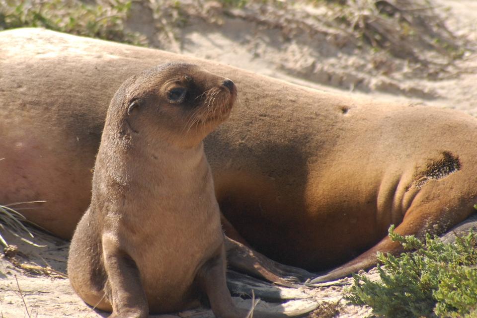Nz Fur Seal Kangaroo Island