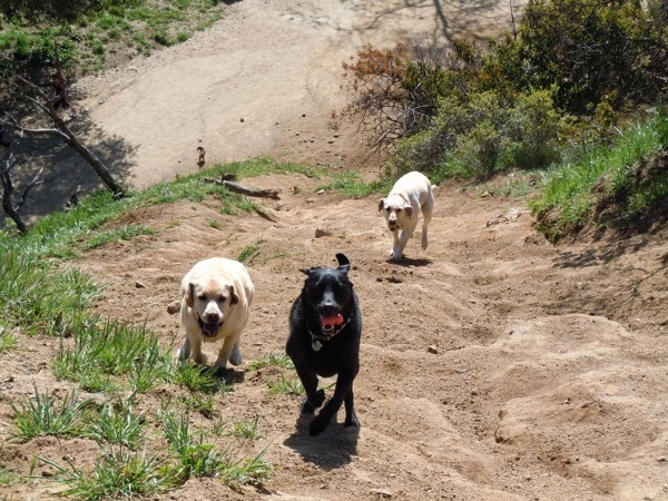 Labradors playing Runyon Canyon